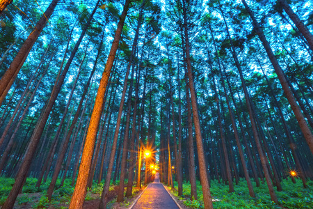A footpath in the middle of the park, illuminated by yellow lamps, and tall, straight pines at dusk. 版權商用圖片
