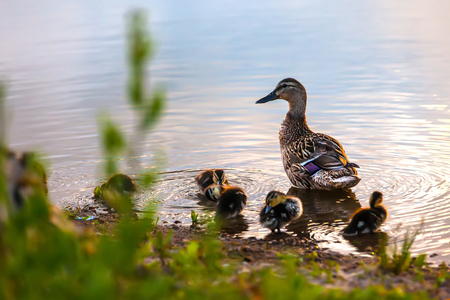 Family of brown ducks, mother with small children clean feathers on the river bank, circles on the water at sunset.