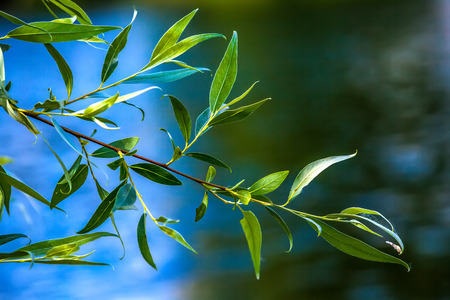 Green oblong leaves of a willow tree on a branch against a blue sky on a summer sunny day.