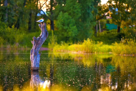 The bird sits on a dried-up stump in the middle of the lake in a yellow green environment of trees in the forest reflecting on the surface of the water. 写真素材