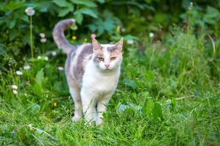 A white gray sly cat walks on a green lawn with its tail sticking out and its ears and eyes dirty.