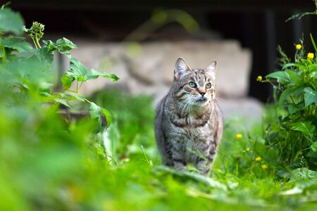 A gray adult wary cat with dark brown stripes and tongue hanging out walks along the lawn of the summer cottage.