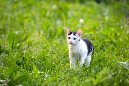 A black white young cat with big yellow eyes walks on a green high lawn lit by bright sunlight.