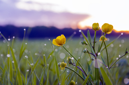 buttercup: Buttercup flower in the meadow