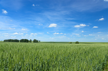 Blue sky and green wheat field