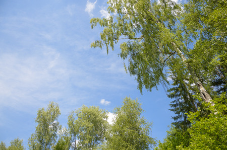 birches: Birches and blue sky