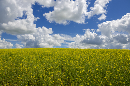 A field of yellow rapeseed flowers