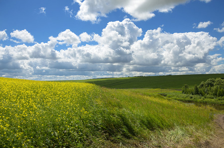 rapaseed: summer landscape Stock Photo