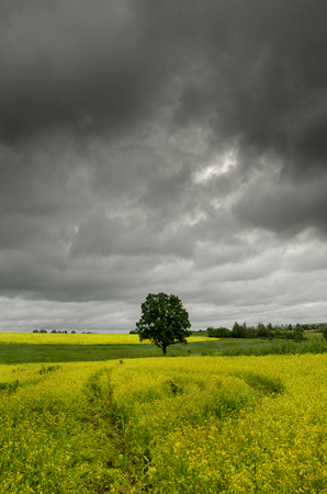 Lone oak growing in yellow rapeseed field. Dark storm clouds in dramatic sky.