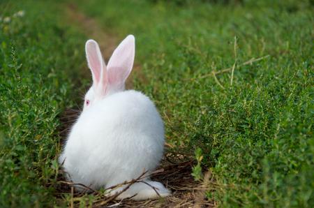 Beautiful white small rabbit grazing on the green grass close up.