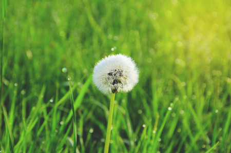 Delicate fluffy dandelion close up on a shining blurred green background of wet meadow grass