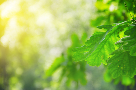 Green oak leaves on a blurred sunny background of trees with lush foliage in spring forest. Banco de Imagens