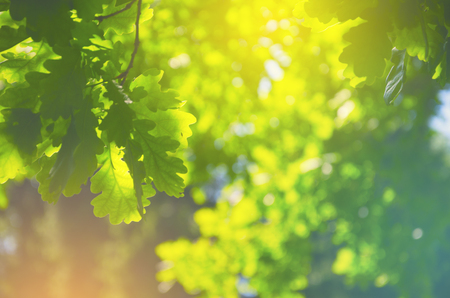 Green oak leaves on a blurred sunny background of trees with lush foliage in spring forest