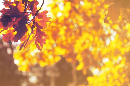 Abstract sunny blurred background of golden autumn oak leaves Imagens