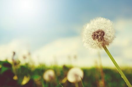 Fluffy dandelion growing in field on a background of cloudy sky. Summer or spring natural background.