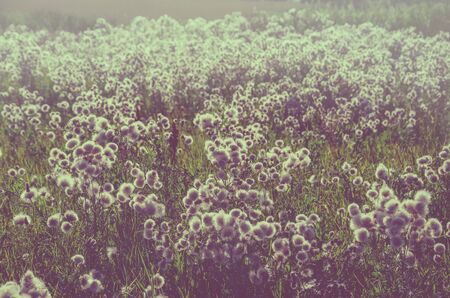 Field of fluffy blooming flowers.