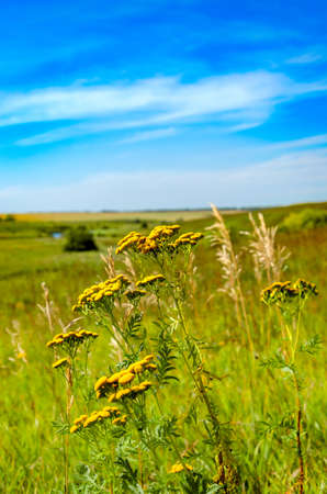 Beautiful sunny nature landscape.Sunny view of yellow tansy flowers and green meadows and fields with trees on a background.Warm colors nature sunset scene.Beauty of late summer or early autumn nature