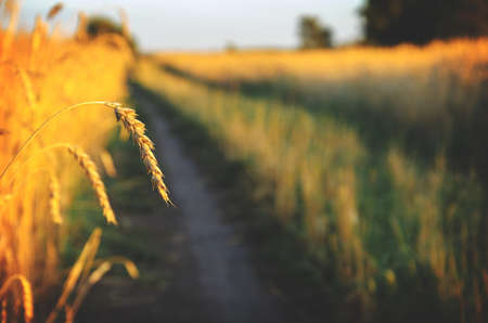 Beautiful summer sunset nature rural landscape.View of rural road and ripe wheat farm field at sunset. Foto de archivo