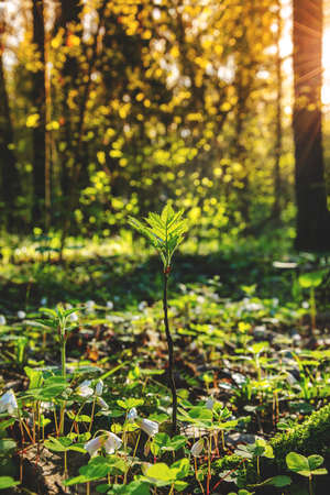 Beautiful spring forest may landscape.Young rowan tree sprout in spring forest during sunny morning.Concept of awakening and freshness of spring nature.Sunbeams shining through tree branches.New life. Foto de archivo