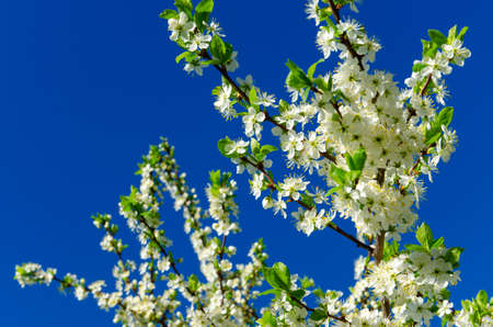 Close up of blooming cherry blossoms on a background of blue sky.Sunny spring scene. Foto de archivo
