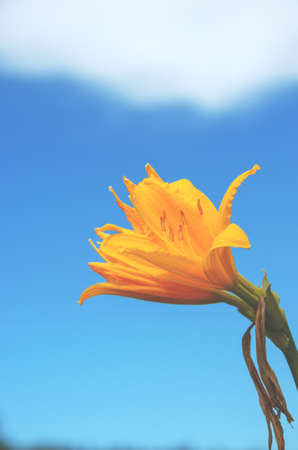 Beautiful blooming yellow daylily flower on a background of blue sky and white cloud. Foto de archivo
