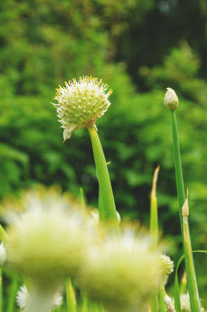 Blooming flower head with seeds of welsh onion or bunching orion growing in garden. Foto de archivo