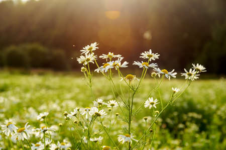 Close up of daisy or wild chamomile blooming flowers on a bright blurred background during sunset.