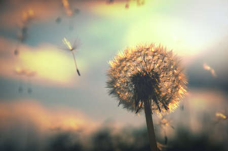 Abstract photo of fluffy dandelion growing in field on a background of cloudy sky. Summer or spring natural background.