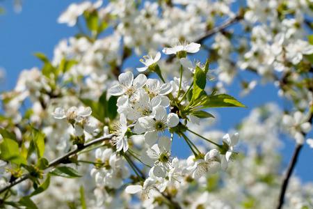 spring flower blossom apple photo