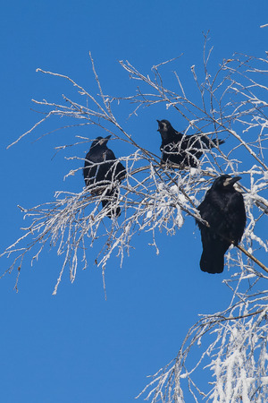 crow on a snow-covered tree in frost photo