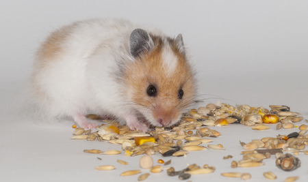 beautiful red and white Syrian hamster on white background photo