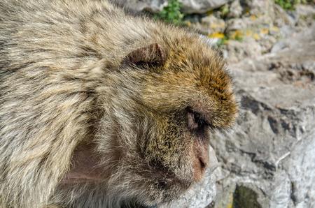 barbary ape: Head of barbary macaque