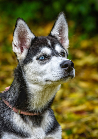 familiaris: Different coloured eyes young husky dog head Stock Photo