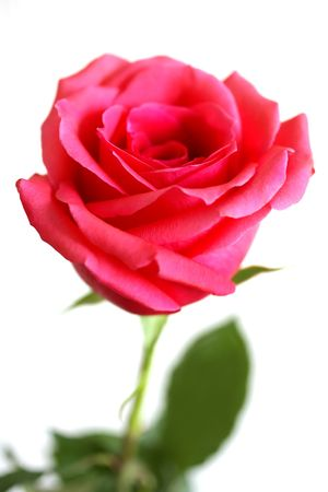 Red Rose isolated over white Stock Photo - 5870228