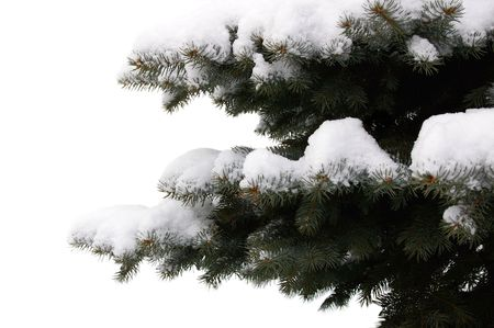 two branches of blue spruce with snow on them, on a white background Stock Photo