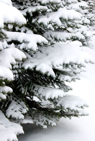snow-covered branches of blue spruce in the park