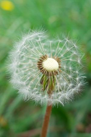 Alone dandelion, who lost part of their hairs Stock Photo - 7253663