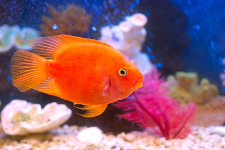 Goldfish swimming in an aquarium Stock Photo