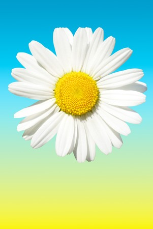 Solar daisy isolated on the gradient background 版權商用圖片