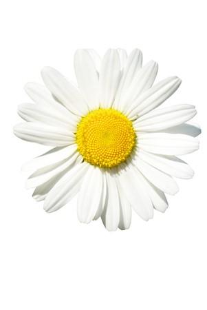 Daisy isolated Stock Photo - 7510853