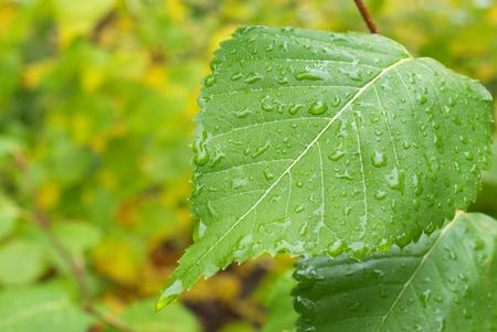 a large sheet of a young birch tree in the rain drops 版權商用圖片
