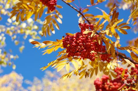 clusters of rowan against the bright sky, warm tones
