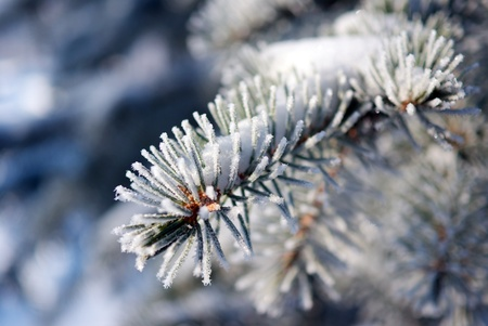 branch blue spruce with needles, covered with frosty rime Stock Photo