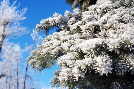 blue spruce covered with snow and hoarfrost Stock Photo