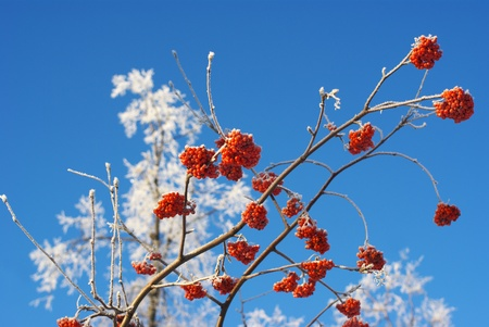 Brush frozen red ash, in frost, against the bright blue sky