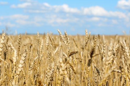 grain field, close-up ear and blue sky background. DOF Stock Photo