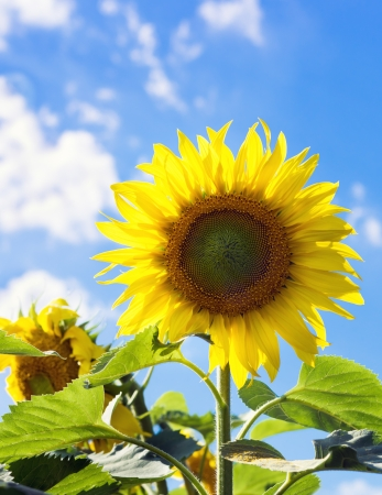 one sunflower close-up against a bright blue sky 版權商用圖片