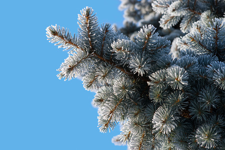 Christmas-tree bush close-up against a bright sky background