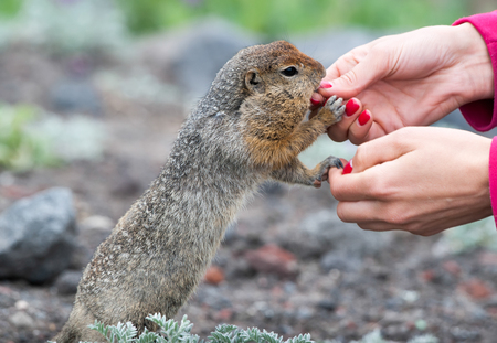 Beringian gopher takes a treat from the hands of a woman Stok Fotoğraf