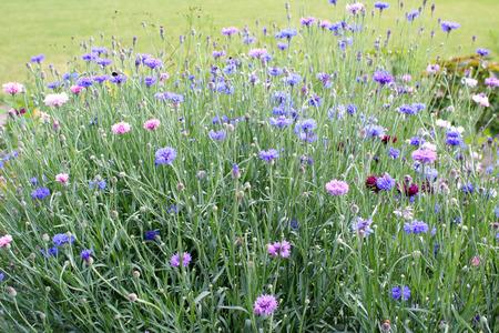 flower bed: Centaurea flower bed in the garden